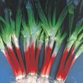 トキタ 赤ひげ葱