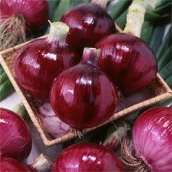 画像1: 松永育成 赤玉葱フレッシュレッド