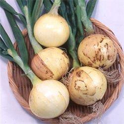 画像1: 松永育成 超極早生玉葱 スーパーリニア
